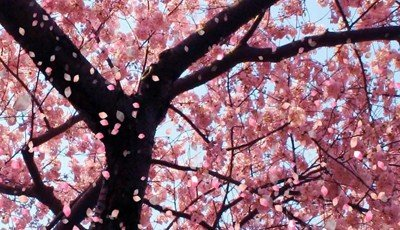 Shillong blooms with cherry blossoms