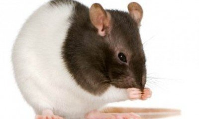 Rats with Autism!