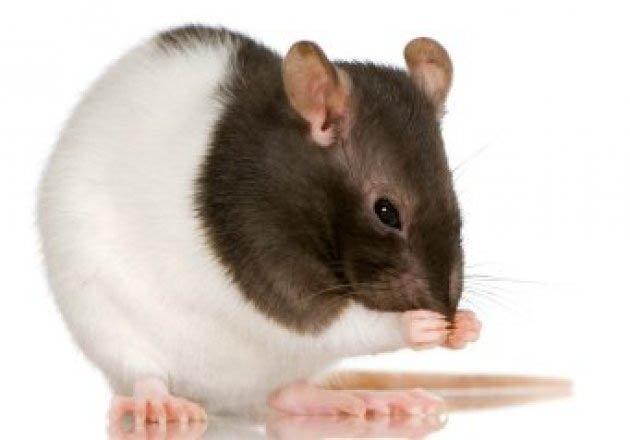 copy_rats
