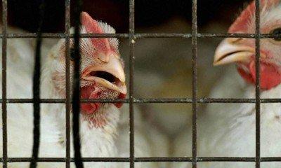 Bird Flu is under control says Centre
