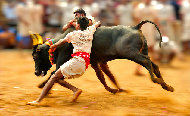 Bulls out from Jallikattu