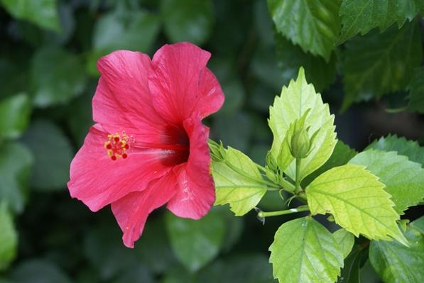 health benefits of Hibiscus leaves
